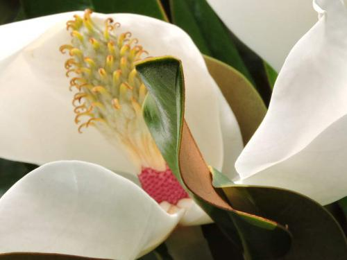 Mag Grandiflora