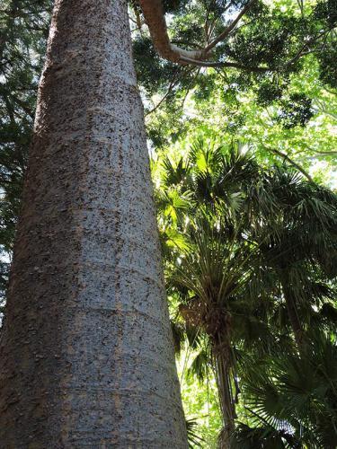 Tallest Tree at Callan Park